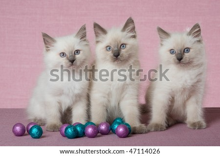 3 Pretty Ragdoll kittens with colourful shiny balls on pink lilac background - stock photo