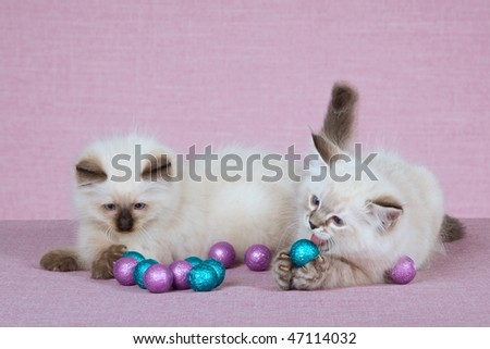 2 Pretty Ragdoll kittens with colourful shiny balls on pink lilac background - stock photo