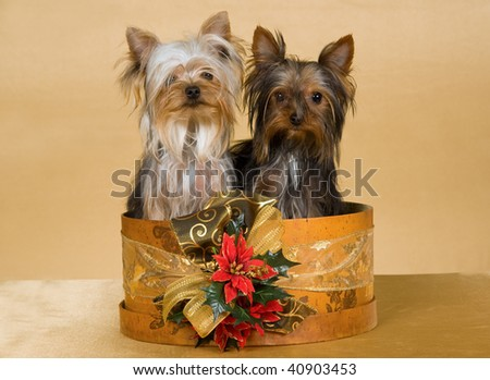 2 Pretty Yorkies in vintage hat box with Christmas decorations, on gold background