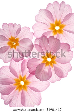 primula flowers on the white background