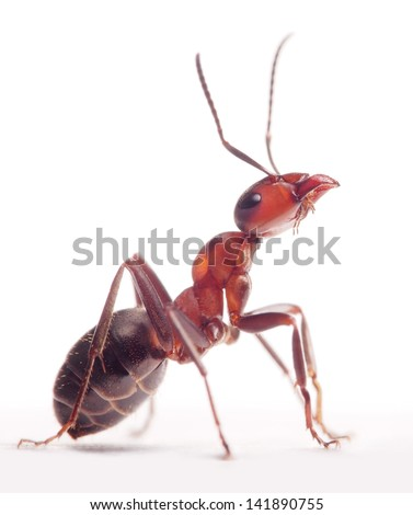 proud ant formica rufa - stock photo