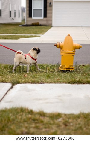pug dog looking longingly at a fire hydrant.