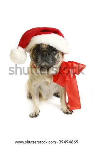 pug in the New Year bell Santa Claus