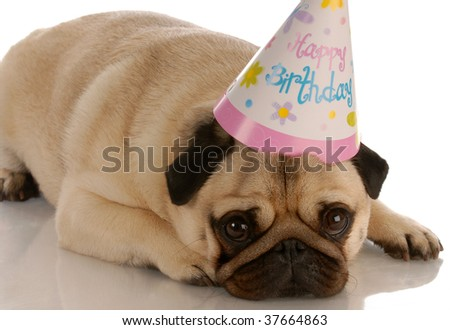 pug laying down with birthday hat on white background - stock photo