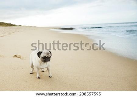 pug on beach - stock photo