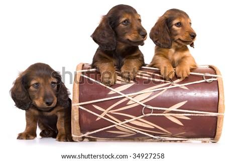 puppies breed dachshund - stock photo