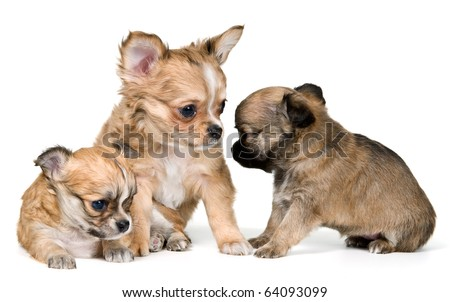 Puppies of the chihuahua in studio