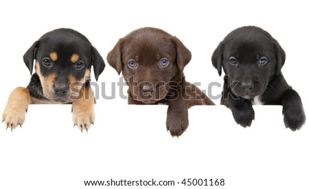 3  puppies showing their paws  above white banner - stock photo