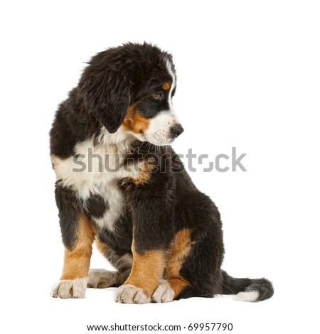 Puppy bernese mountain dog - 4 months (berner sennenhund, bernois) - stock photo