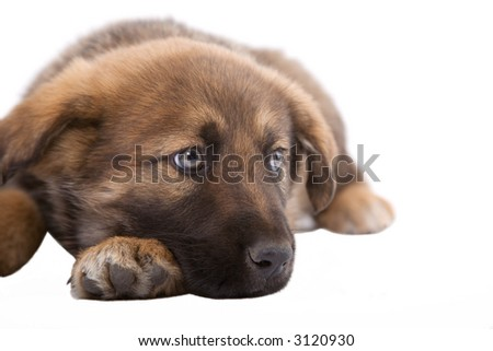puppy dog lying down in front of white background_2