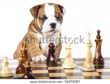 Puppy english Bulldog and chess piece - stock photo