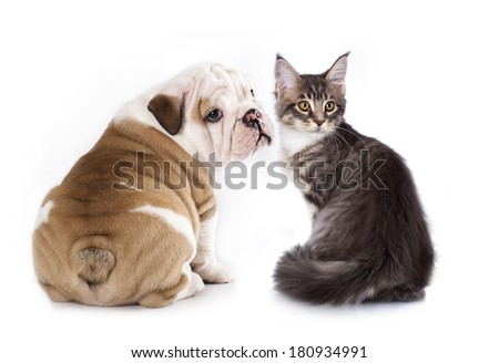puppy English Bulldog and kitten breeds Maine Coon,  cat and dog - stock photo