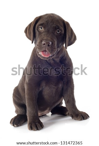 puppy purebred  labrador retriever in front of white background