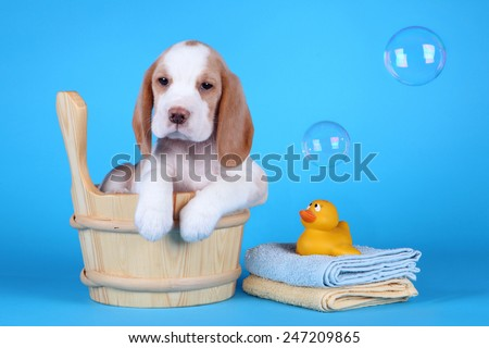 puppy sitting in a tub with bubbles and a rubber ducky ready for his bath - stock photo