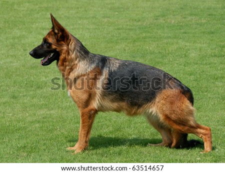 Pure breed champion German shepherd dog in show stand on green grass - stock photo