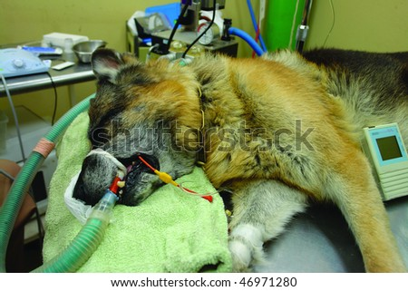 Pure breed german shepherd dog at a dental cleaning