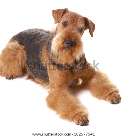 pureblooded dog Airedale isolated on white background - stock photo