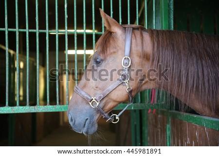 Purebred chestnut racing horse looking over the barn door   - stock photo