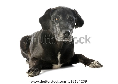 purebred  old labrador retriever in front of a white background