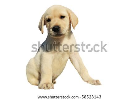 purebred puppy labrador retriever on a white background - stock photo