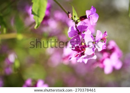 purple flowers on a spring meadow - stock photo