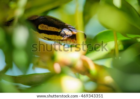 Python regius hiding in the branches of a tree