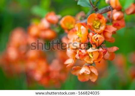 quince tree branch with flowers against blur  spring foliage background