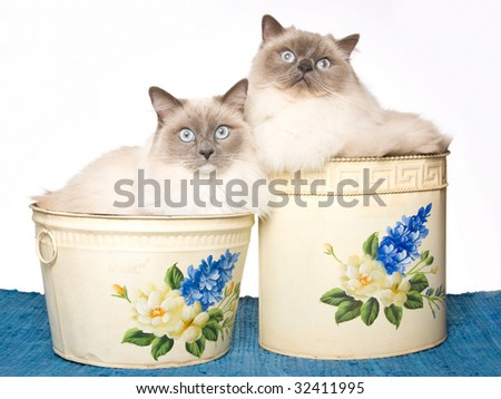 2 Ragdoll cats sitting inside floral dustbins on blue woven rug, on white background - stock photo