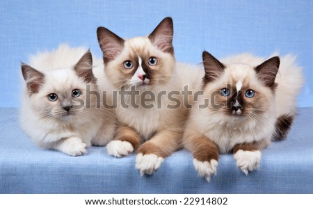 3 Ragdoll kittens in a row on blue background - stock photo