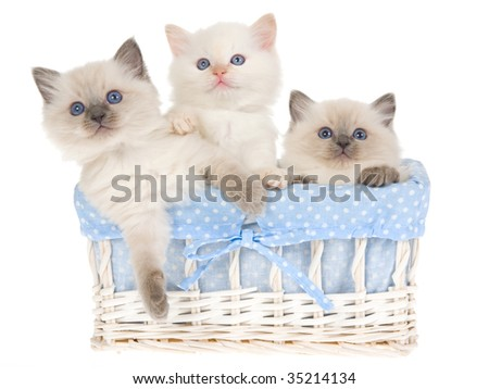 3 Ragdoll kittens in blue and white basket, on white background - stock photo