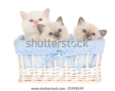 3 Ragdoll kittens in blue and white basket, on white background
