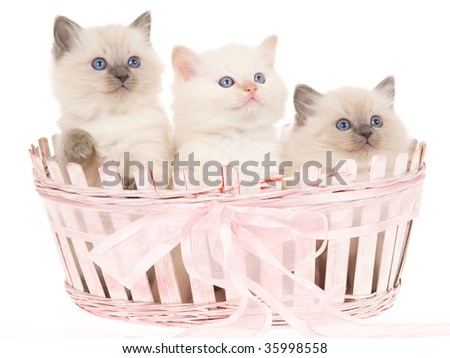 3 Ragdoll kittens in pink basket, on white background - stock photo