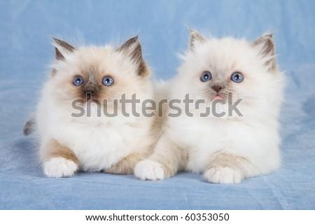 2 Ragdoll kittens on blue background - stock photo