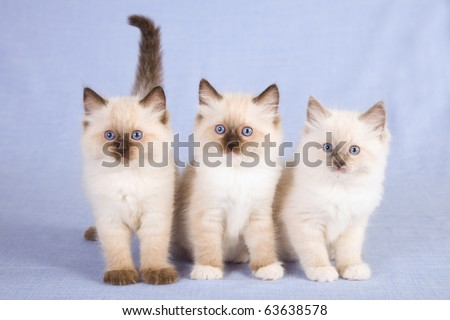 3 Ragdoll kittens on blue background - stock photo