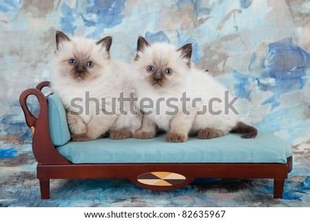 2 Ragdoll kittens on blue couch sofa - stock photo