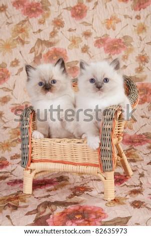 2 Ragdoll kittens on brown wicker chair - stock photo