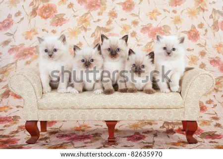 5 Ragdoll kittens on cream sofa couch - stock photo