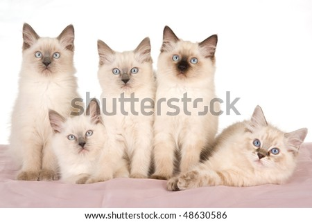 4 Ragdoll kittens on pink and white background