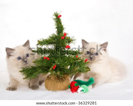 2 Ragdoll kittens with christmas tree and toys, on white fake snow fabric background - stock photo