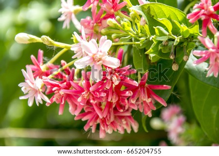 Rangoon Creeper  or Chinese honey Suckle flowers,pink flowers