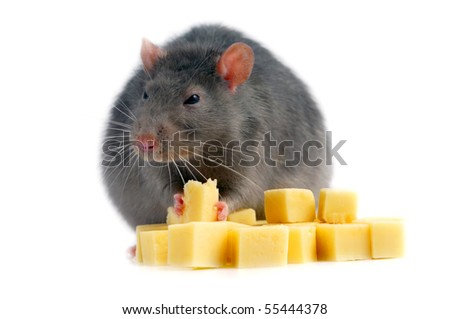 Rat and cheese isolated on white background - stock photo
