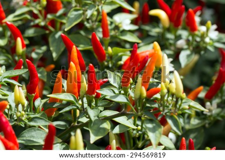 Red and orange ornamental pepper upward growth(Capsicum annum L. var. fasciculatum Irish.) - stock photo