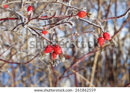 Red berries of a briar  in hoarfrost against trees in the winter in hoarfrost against trees in the winter - stock photo
