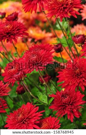 Red chrysanthemum flowers background - stock photo