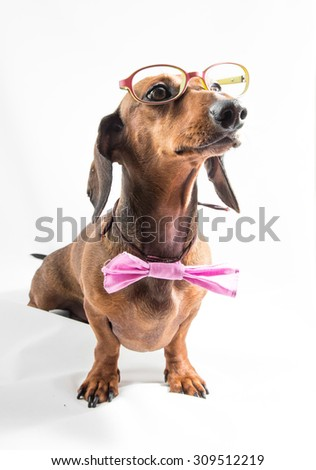 Red dachshund dog on old wooden table - stock photo