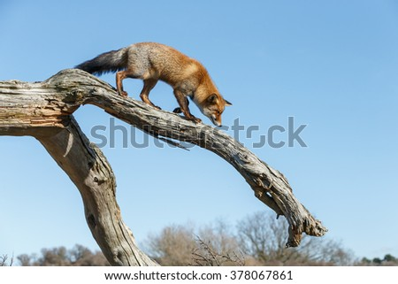 Red fox climbing a dead tree