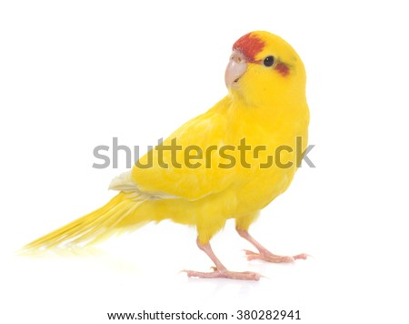 Red-fronted Kakariki parakeet in front of white background