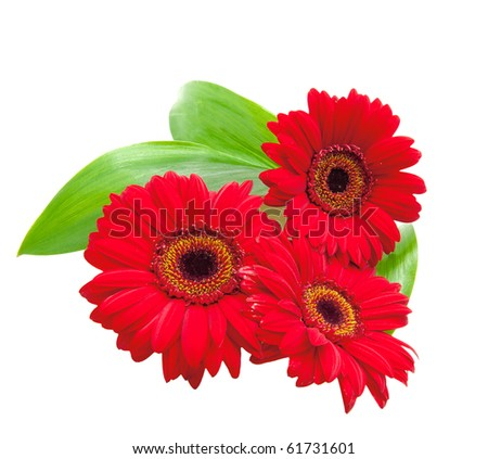 red gerbera flowers with green leaves on a white background - stock photo