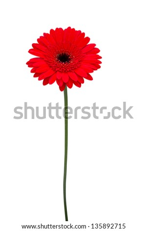 Red  gerbera on a white background - stock photo