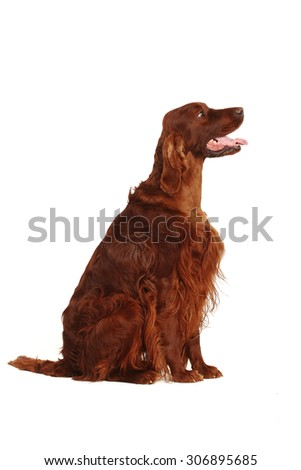 Red Irish Setter, isolated on white